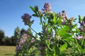 Seznamte se s ALFAFA – bylinou, se kterou omládnete