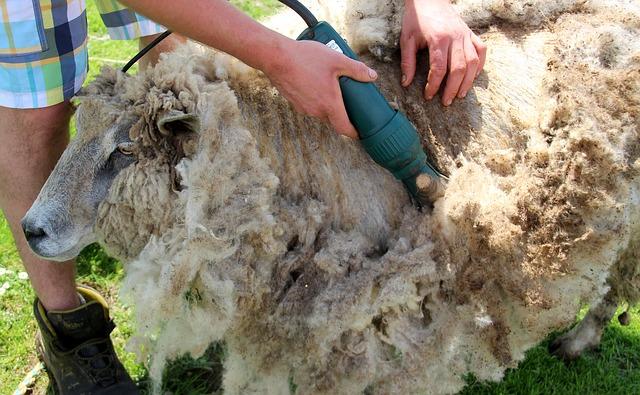stříhání ovce