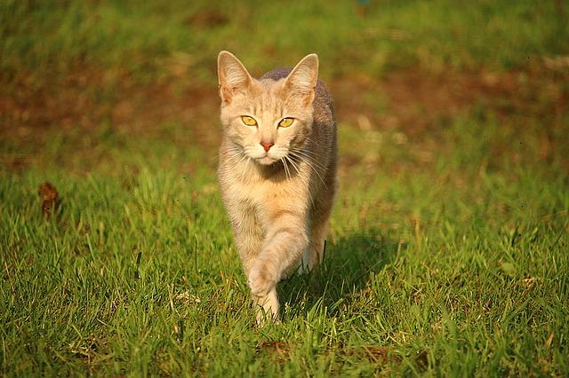 chůze kočky