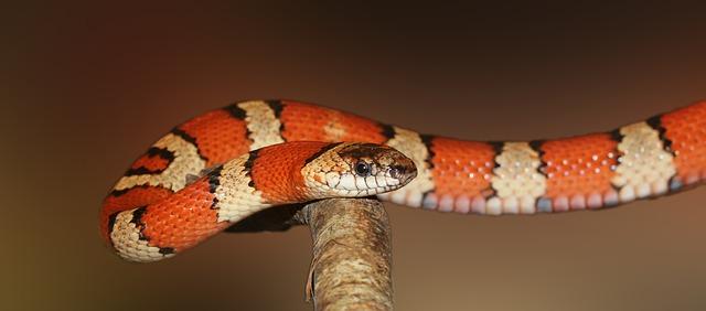 pruhovaný had