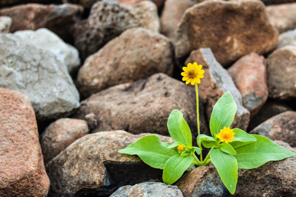 květina v kamení